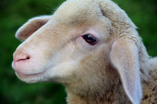 lamb 500